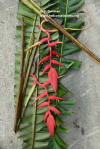 Heliconia huilensis