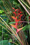 Heliconia bihai 'Purple Throat'
