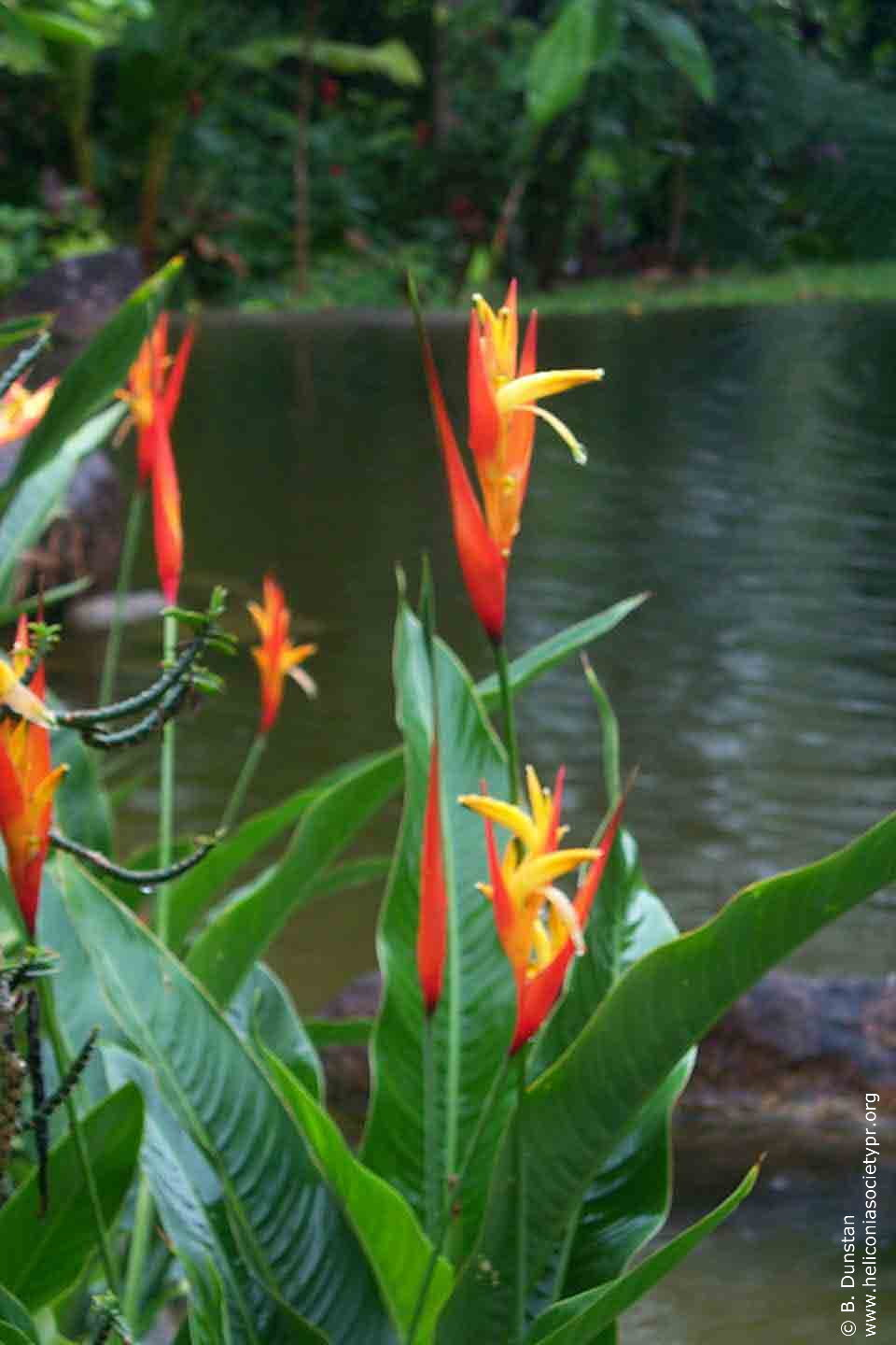 Heliconia densiflora 'Fire Flash'