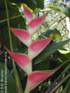 Heliconia stricta 'Pascuita'