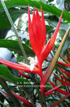 Heliconia angusta 'Holiday'