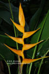 Heliconia latispatha 'Mexican Gold'