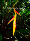 Heliconia pastazae (young inflorescence)