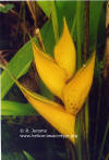 Heliconia stricta 'Canary Yellow'